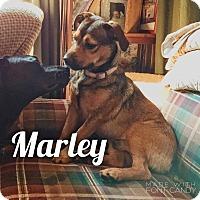 Adopt A Pet :: Marley - Bernardston, MA