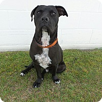 Adopt A Pet :: Adonis - Pawsitive Direction - Loxahatchee, FL