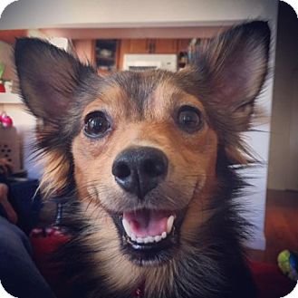 Papillon Mix Dog for adoption in San Diego, California - Lieutenant Dan