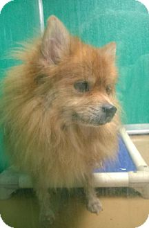 Pomeranian Mix Dog for adoption in Terre Haute, Indiana - POOFY