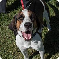 Adopt A Pet :: Stitch: 11 months - Farmington, MI