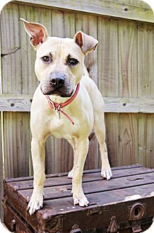 Labrador Retriever/Boxer Mix Dog for adoption in Miami, Florida - Suitcase