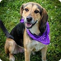 Adopt A Pet :: Sugar - Brownsburg, IN