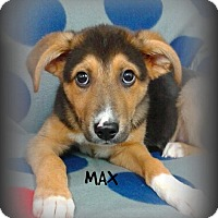 Shepherd (Unknown Type) Mix Puppy for adoption in Princeton, Kentucky - Max