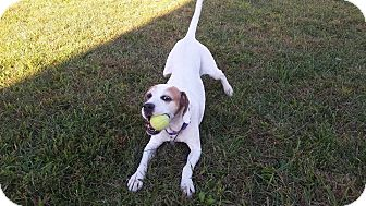 Pointer Mix Dog for adoption in LaGrange, Kentucky - COLBY