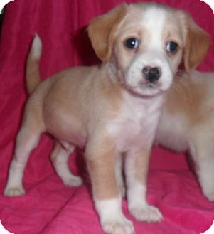 Jack Russell Terrier/Border Terrier Mix Puppy for adoption in El Cajon, California - Bundle of Jack Russell