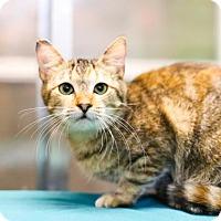 Domestic Shorthair Kitten for adoption in Austin, Texas - Fluttershy