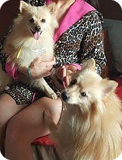 Pomeranian Dog for adoption in Pittsboro, North Carolina - Poppy