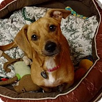 Dachshund Mix Dog for adoption in Princeton, Minnesota - Selah