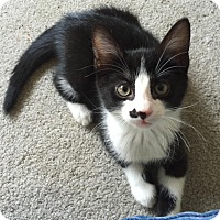 Domestic Shorthair Cat for adoption in Turnersville, New Jersey - Danny Crawford