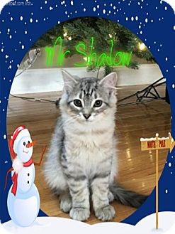 Domestic Longhair Kitten for adoption in Knoxville, Tennessee - Mr Shadow
