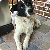 Adopt A Pet :: Alfred - McKinney, TX
