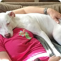American Staffordshire Terrier/Boxer Mix Dog for adoption in Fair Oaks Ranch, Texas - Winter
