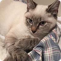 Adopt A Pet :: ANGELINA-SIAMESE LYNX POINT KITTEN - Philadelphia, PA