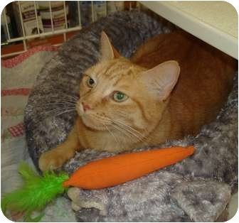 Domestic Shorthair Cat for adoption in Chesapeake, Virginia - Orange Cat
