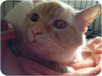 Siamese Cat for adoption in Wenatchee, Washington - Win-da