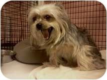 Yorkie, Yorkshire Terrier/Pekingese Mix Dog for adoption in Niceville, Florida - Roxy