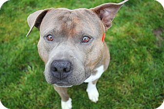 Staffordshire Bull Terrier Rescue Oregon Gator | Adopted Dog | ...