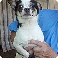 Chihuahua Puppy for adoption in Crump, Tennessee - Tyler