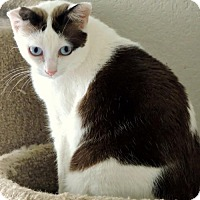 Siamese Cat for adoption in Dallas, Texas - Beauty