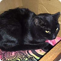 Domestic Shorthair Cat for adoption in Cincinnati, Ohio - zz 'FRAIDY' courtesy post