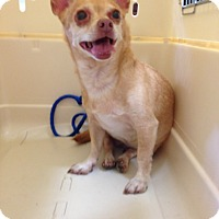 Chihuahua Dog for adoption in Poplarville,, Mississippi - Mia