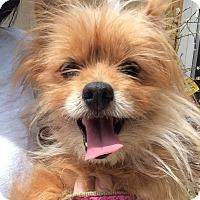 Adopt A Pet :: Sunshine - Encino, CA