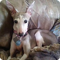 Adopt A Pet :: Gracie in DFW area - Argyle, TX