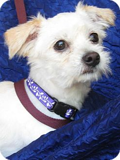Maltese/Poodle (Miniature) Mix Dog for adoption in Cuba, New York - Maddox Lancer