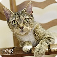 Domestic Shorthair Cat for adoption in Knoxville, Tennessee - Pinkie Pie
