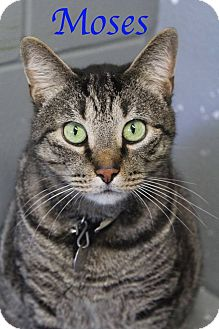 Domestic Shorthair Cat for adoption in Bradenton, Florida - Moses