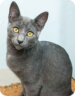 Russian Blue Cat for adoption in Los Angeles, California - Skippy