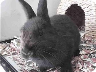 Netherland Dwarf Mix for adoption in Los Angeles, California - Marlow