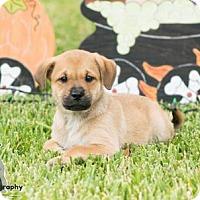Adopt A Pet :: Starr - Santa Fe, TX