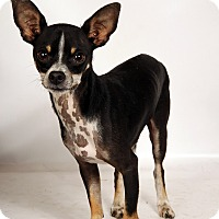Adopt A Pet :: Cash Chi - St. Louis, MO