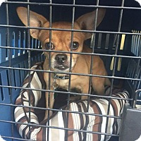 Adopt A Pet :: Charlie Chug - Springfield, MO