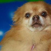 Adopt A Pet :: Rillo - Dallas, TX