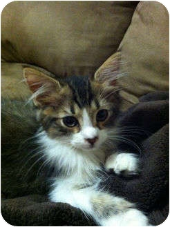 Maine Coon Kitten for adoption in Orlando, Florida - Darwin
