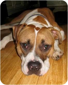 Buster Brown   Adopted Dog   Cary, IL   American Pit Bull ...