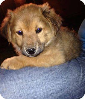 Shepherd (Unknown Type) Mix Puppy for adoption in Gilbert, Arizona - Fox