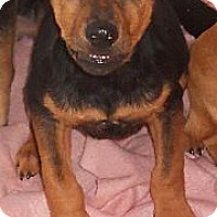 Adopt A Pet :: Shepard Mix Puppy - Aloha, OR