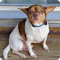 Adopt A Pet :: #15 Lenny (located in MO) - Festus, MO