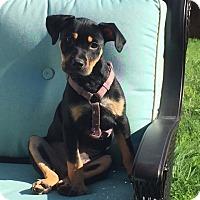 Adopt A Pet :: Winnie II - Dallas, TX