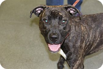 Pit Bull Terrier Mix Dog for adoption in Greensboro, North Carolina - Legend