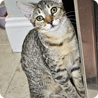 Adopt A Pet :: Hamlet (Bengal mixed kitten) - New Smyrna Beach, FL