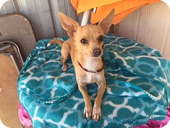 Chihuahua Mix Dog for adoption in Elk Grove, California - LANA