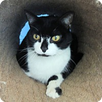 Domestic Mediumhair Cat for adoption in Athens, Alabama - Monkey -- Declawed