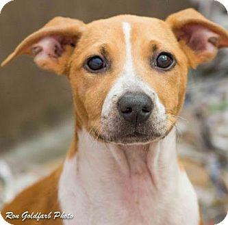 Hound (Unknown Type)/Terrier (Unknown Type, Small) Mix Puppy for adoption in Alpharetta, Georgia - Carmel