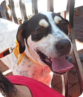 Bluetick Coonhound Mix Dog for adoption in Rockville, Maryland - Lucas