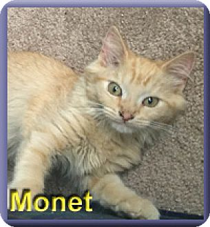 Domestic Mediumhair Kitten for adoption in Aldie, Virginia - Monet
